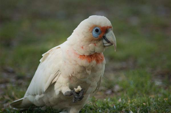 Long-billed Corella | Cacatua tenuirostris photo