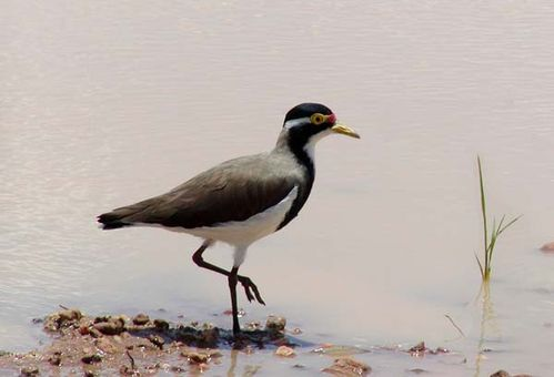 Banded Lapwing | Vanellus tricolor photo