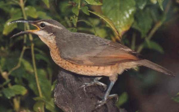 Victoria's Riflebird | Ptiloris victoriae photo