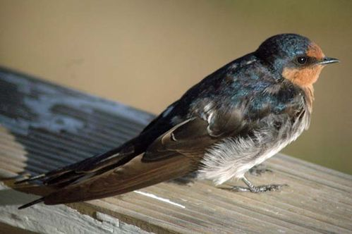 Welcome Swallow | Hirundo neoxena photo