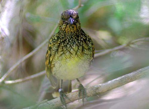 Western Bowerbird | Chlamydera guttata photo