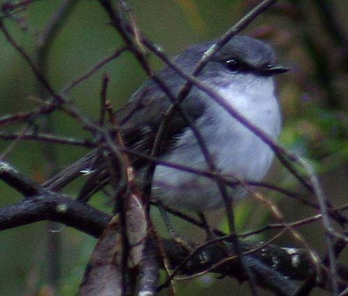 White-breasted Robin | Eopsaltria georgiana photo