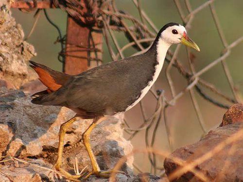 White-breasted Waterhen   Amaurornis phoenicurus photo