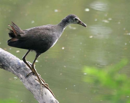 White-breasted Waterhen | Amaurornis phoenicurus photo