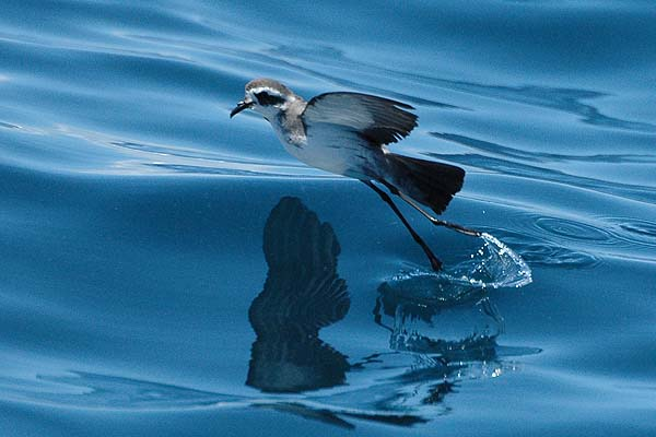 White-faced Storm-Petrel | Pelagodroma marina photo