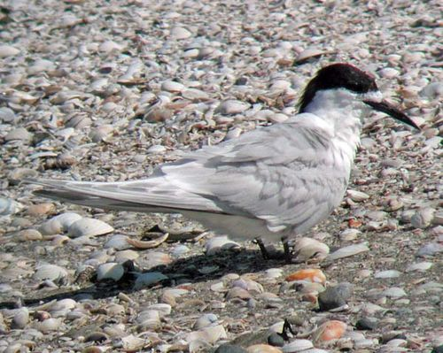 White-fronted Tern | Sterna striata photo