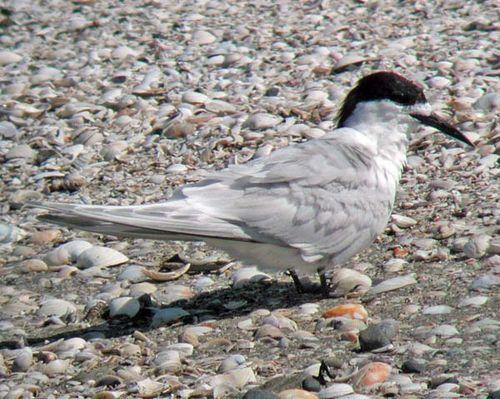 White-fronted Tern | Sterna striata photo