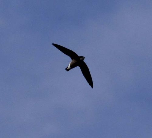 White-throated Needletail | Hirundapus caudacutus photo