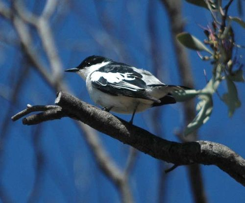 White-winged Triller | Lalage tricolor photo