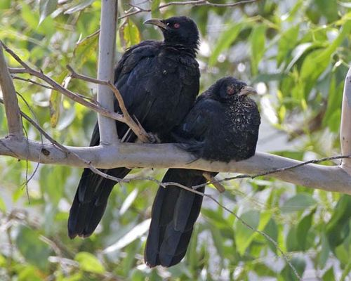 White-winged Chough | Corcorax melanorhamphos photo