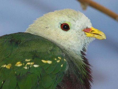Wompoo Pigeon | Ptilinopus magnificus photo