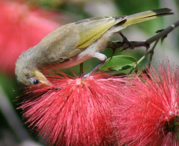 Yellow Honeyeater | Lichenostomus flavus photo