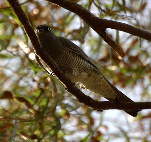 Barred Cuckoo-shrike   Coracina lineata photo