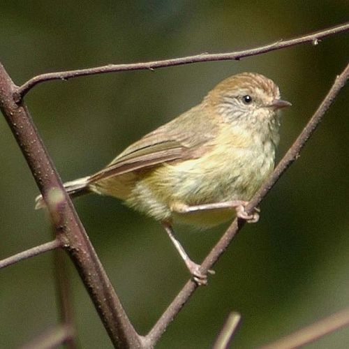 Yellow Thornbill | Acanthiza nana photo