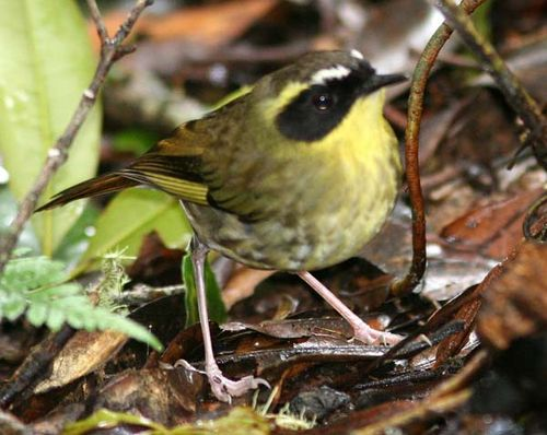 Yellow-throated Scrubwren | Sericornis citreogularis photo