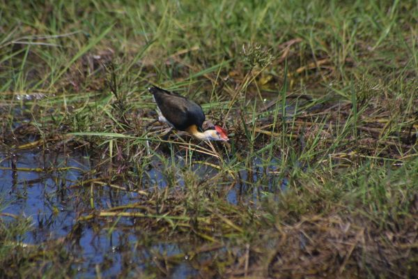 Comb-crested Jacana | Irediparra gallinacea photo