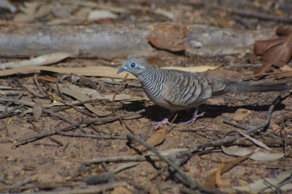 Peaceful Dove | Geopelia striata photo