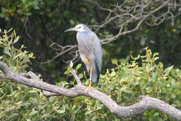 White-faced Heron | Egretta novaehollandiae photo