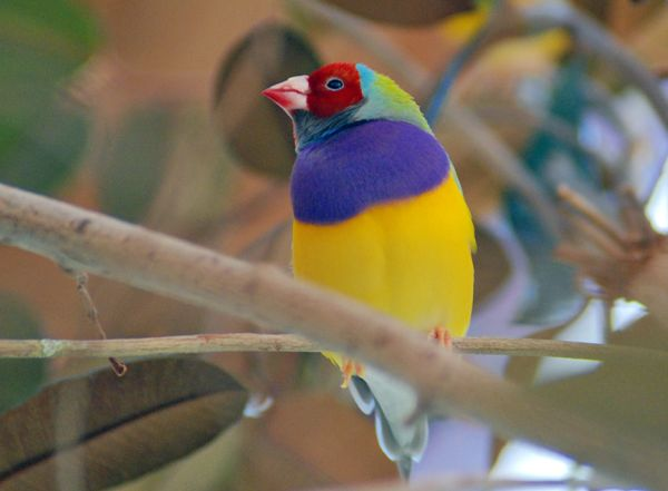 Gouldian Finch | Erythrura gouldiae photo