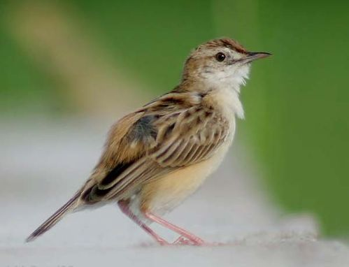 Zitting Cisticola | Cisticola juncidis photo