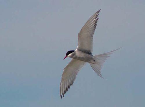 Arctic Tern | Sterna paradisaea photo