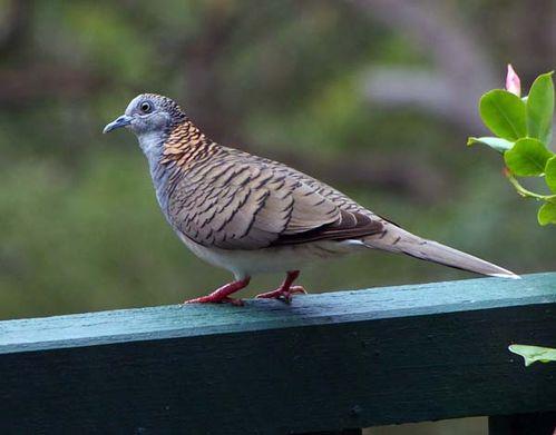 Bar-shouldered Dove | Geopelia humeralis photo