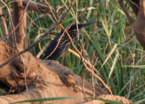 Black Bittern | Ixobrychus flavicollis photo