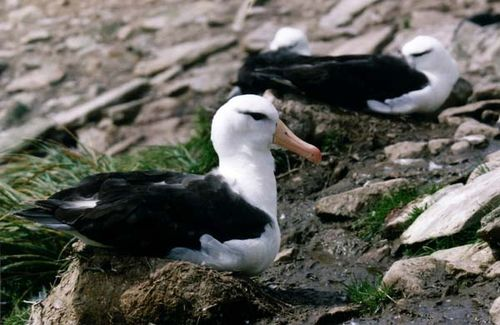 Black-browed Albatross | Thalassarche melanophris photo