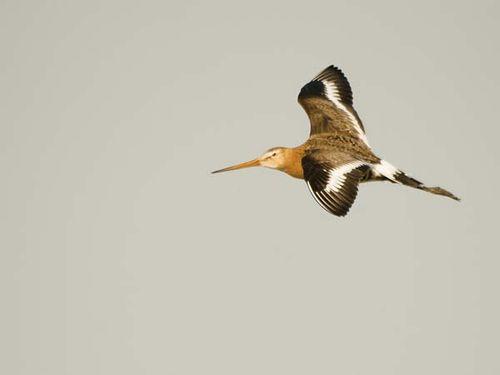 Black-tailed Godwit | Limosa limosa photo