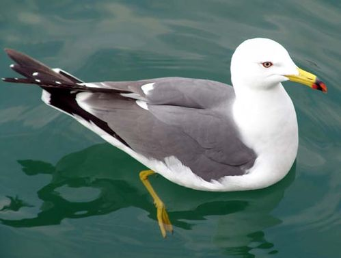 Black-tailed Gull | Larus crassirostris photo