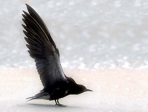 Black Tern | Chlidonias niger photo