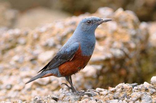 Blue Rock-Thrush | Monticola solitarius photo