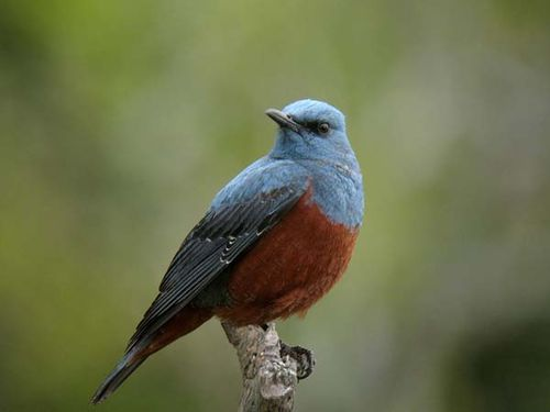 Blue Rock-Thrush | Monticola solitarius photo