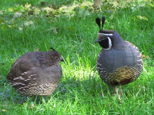 California Quail | Callipepla californica photo