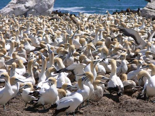 Cape Gannet | Morus capensis photo