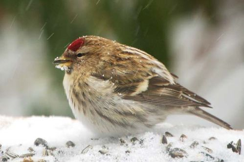 Common Redpoll | Carduelis flammea photo