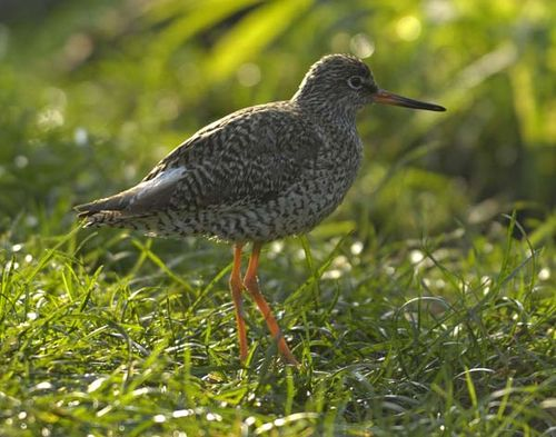 Common Redshank | Tringa totanus photo