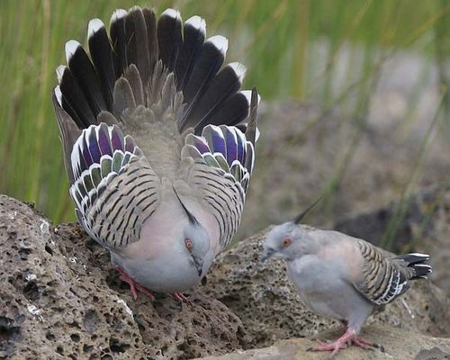 Crested Pigeon | Ocyphaps lophotes photo