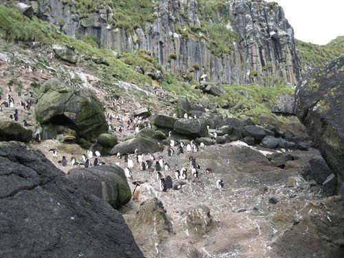 Erect-crested Penguin | Eudyptes sclateri photo