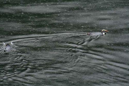 Fiordland Penguin | Eudyptes pachyrhynchus photo