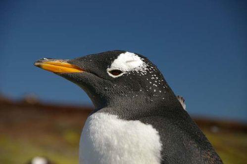 Gentoo Penguin | Pygoscelis papua photo