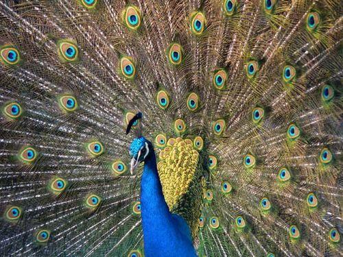 Indian Peafowl | Pavo cristatus photo