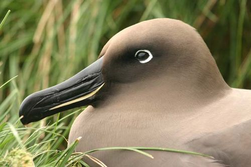 Light-mantled Sooty Albatross | Phoebetria palpebrata photo
