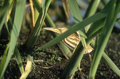 Little Bittern | Ixobrychus minutus photo