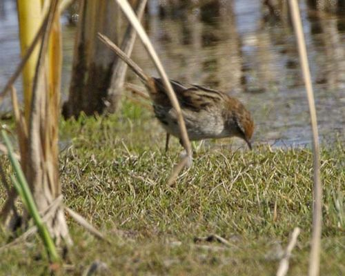Little Grassbird | Megalurus gramineus photo