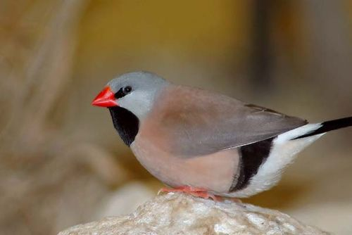Long-tailed Finch | Poephila acuticauda photo