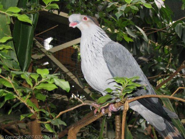 Topknot Pigeon   Lopholaimus antarcticus photo