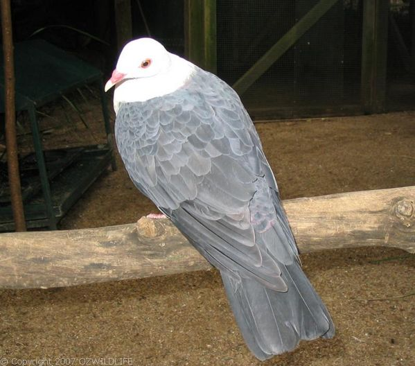 White-headed Pigeon | Columba leucomela photo