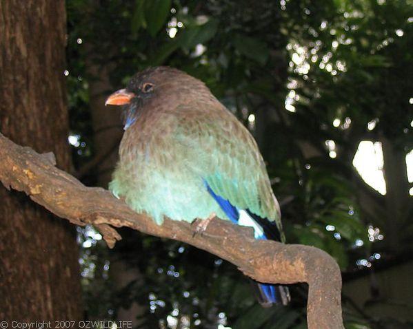 Dollarbird | Eurystomus orientalis photo