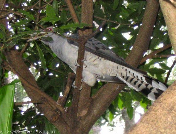 Channel-billed Cuckoo | Scythrops novaehollandiae photo